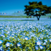 Thumbnail image for Japan's Famous Fields of Baby Blue