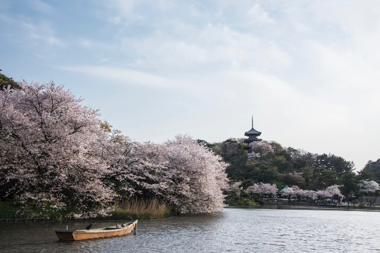 Sakura at Sankei-en in Yokohama, Japan
