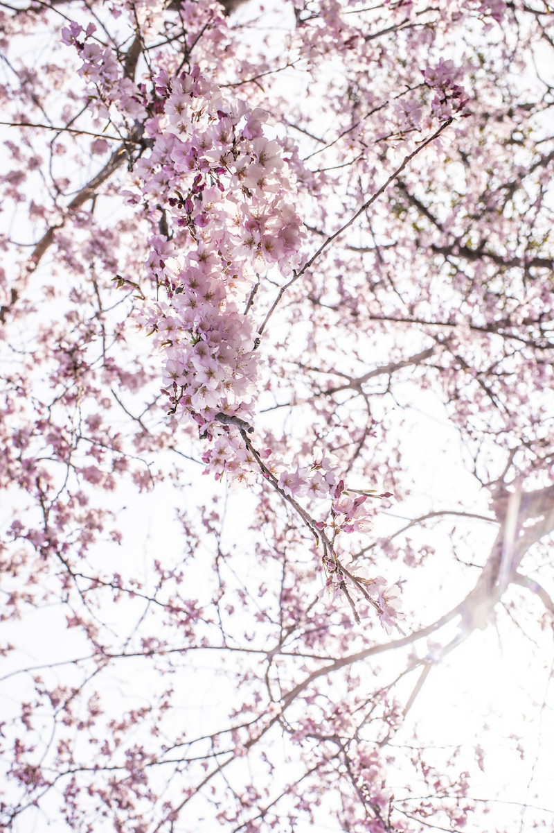 the ultimate guide to seeing cherry blossoms in japan