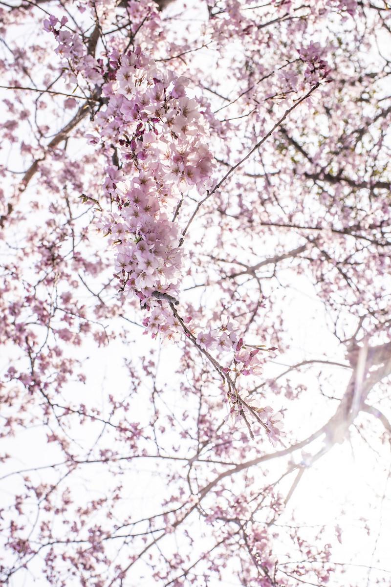 Sakura in Kyushu, Japan