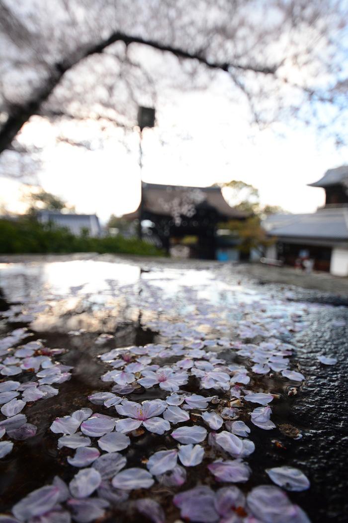 Sakura petals in Kyoto, Japan