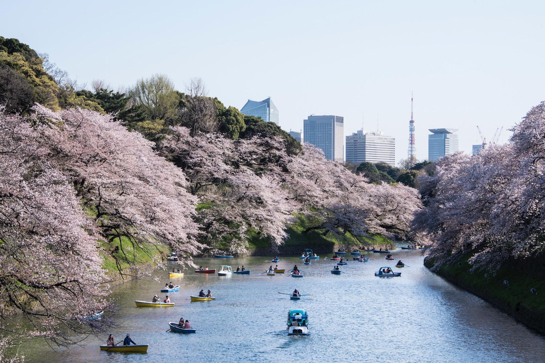 Sakura at Chidorigafuchi in Tokyo