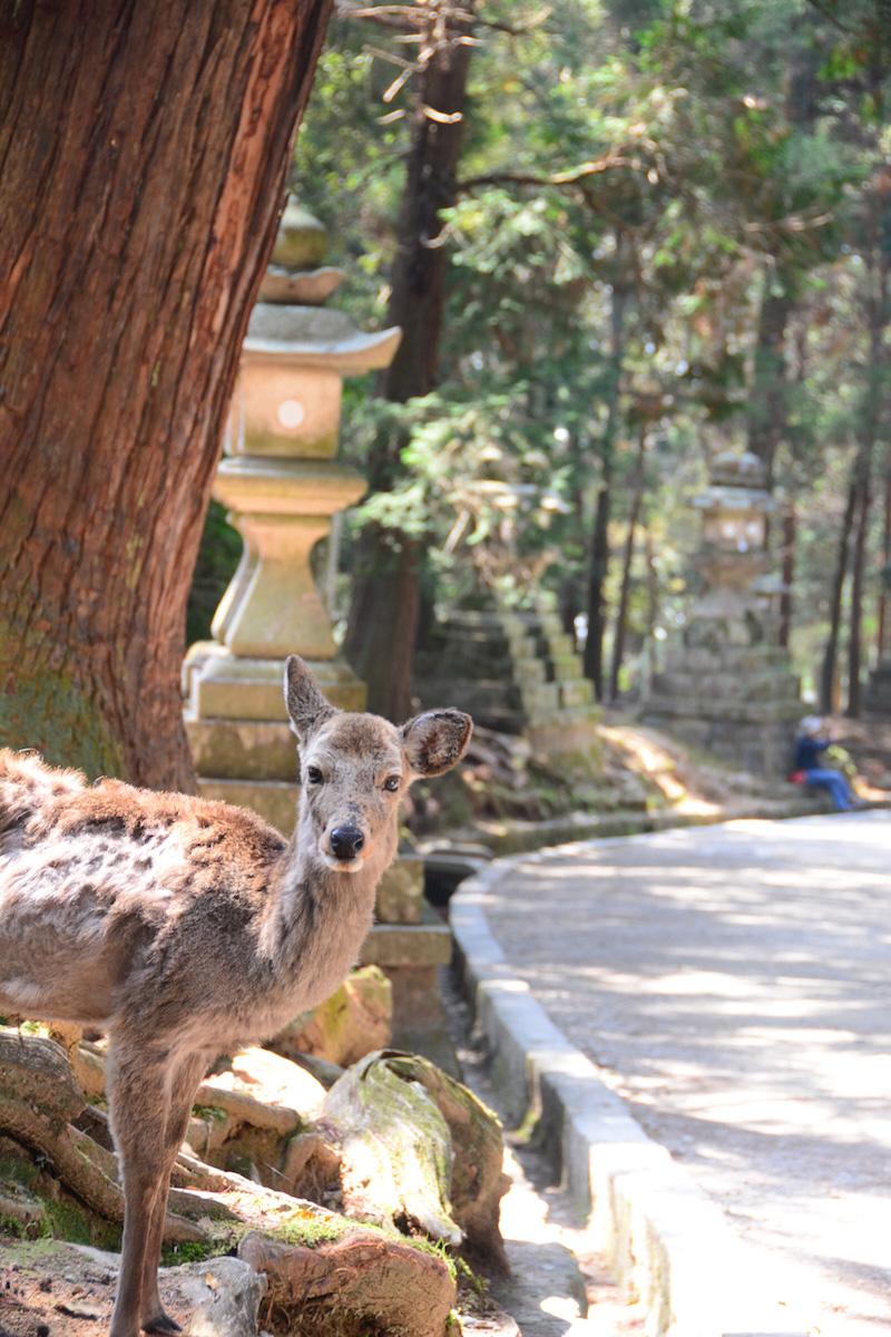 Deer in Nara near Osaka, Japan
