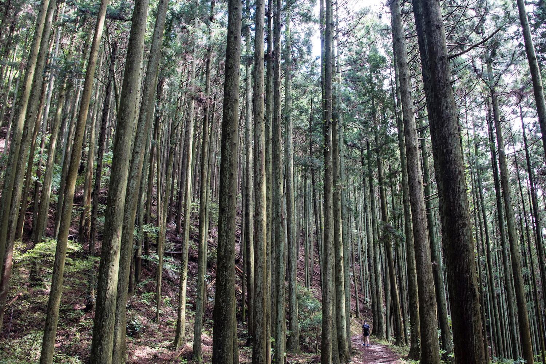 Koyasan Pine Trees in Wakayama, Japan