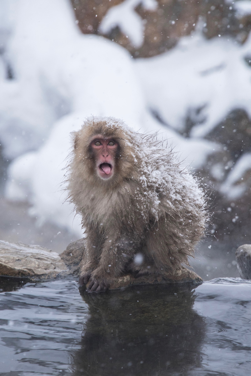 Snow monkey in the Japanese Alps
