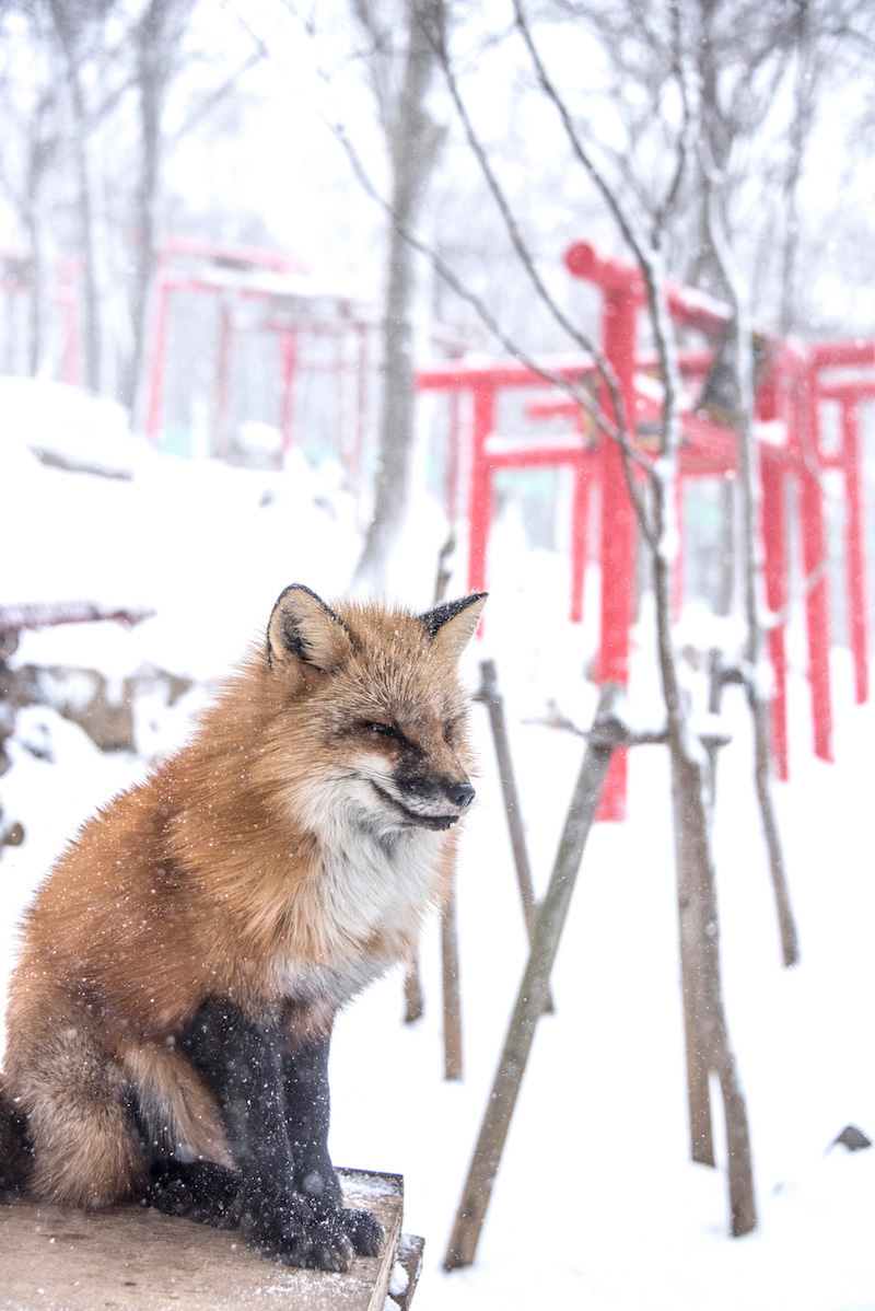 Japan travel pictures of Zao Fox Village