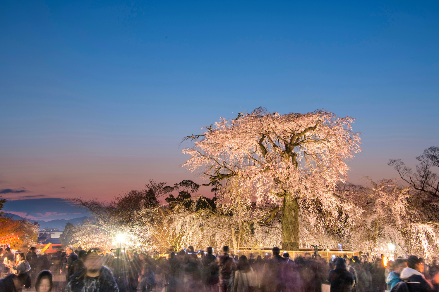 Weeping Sakura cherry tree in Kyoto