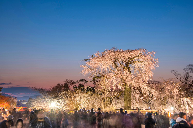 Weeping sakura in Kyoto